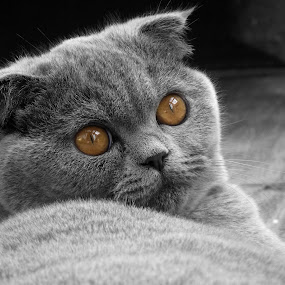 Frida - the perfect scottish fold cat by Stefano Rho - Animals - Cats Portraits ( cats, blackandwhite, kitten, cat, b&w, black and white, pet, pets, scottishfold, cute, portrait )