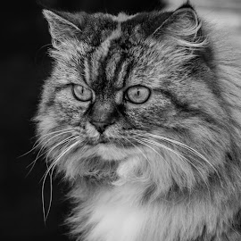 by Urszula Mazur - Animals - Cats Portraits