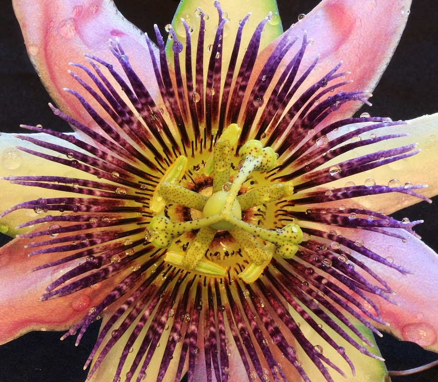 by Peg Elmore - Nature Up Close Flowers - 2011-2013 ( purple, pink, passion flower )