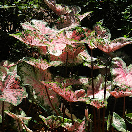 Lovely Elephant Ears by Kathy Rose Willis - Nature Up Close Leaves & Grasses ( green, elephant ears, pink, leaves, black,  )