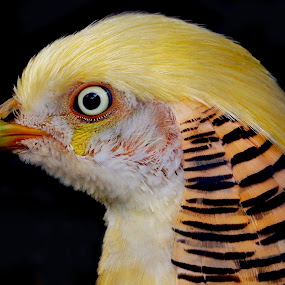 Portrait of a pheasant by Robin Rawlings Wechsler - Animals Birds ( bird, nature, pheasant, golden pheasant, feathers,  )