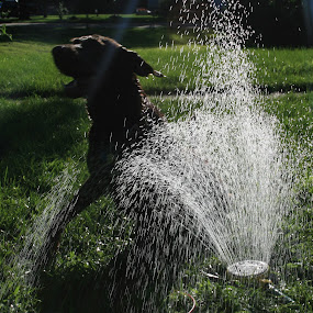 Dexter in the sprinkler by Alex Heimberger - Animals - Dogs Playing ( pwcsilhouettemotion-dq, pwcsilhouettemotion dogs sprinkler play summer )
