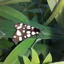 Cream-spot tiger /Медведица деревенская,сельская