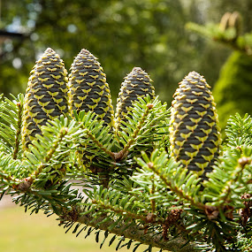 Spruce cones by HB Jansson - Nature Up Close Trees & Bushes ( sweden, småland, spruce, högsby, close-up, cones )