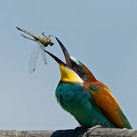 Merops apiaster by Dragomir Taborin - Animals Birds