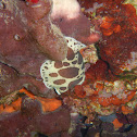 Leopard Sea Slug