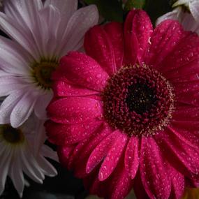 Darling Daisies by Liz Pascal - Flowers Flower Arangements
