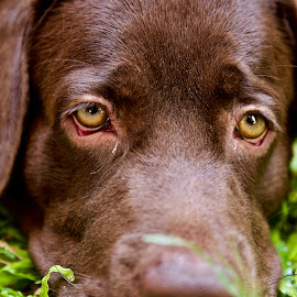 Boring Labrador Retriever Dog by Yusuf Nurrachman - Animals - Dogs Portraits ( labrador retriever, dogs, lazy dog, dog portrait, lazy, dog, labrador, animal )