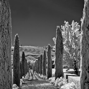 Row of cypress trees. by Gale Perry - Landscapes Prairies, Meadows & Fields ( vine covered hill, black and white, infrared, path, cypress trees, leafy tree,  )