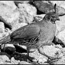 Gambel's Quail by Dave Lipchen - Black & White Animals ( gambel's quail )