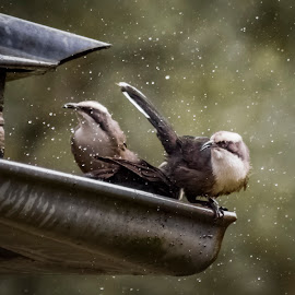 BATH TIME by Kathryn Bisley - Animals Birds ( animals, nature up close, nature close up, close up, birds )
