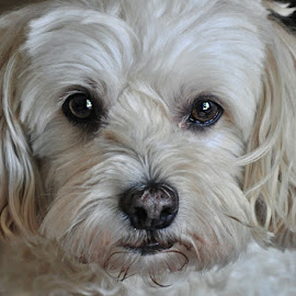 T's face by B Lynn - Animals - Dogs Portraits ( up close., eyes., faces., face., close up. )