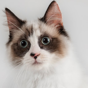 Ragdoll_ Lily by Leticia Cox - Animals - Cats Portraits ( cats, pets portriat, animals, pets, catsofinstagram, felines,  )
