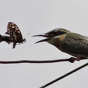 Breakfast with Love. Green Bee-eater at Katihar on 17-06-2013 by Subrata Sarkar - Animals Birds