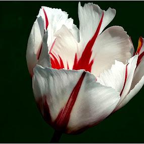 by Viorel Vaida - Flowers Single Flower