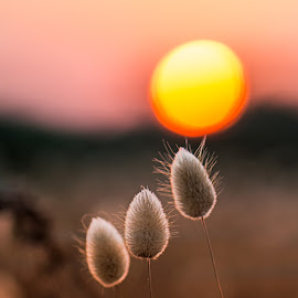 Sunset by Normantė Bajo - Nature Up Close Leaves & Grasses ( sunset, three, bunny tails, sun )
