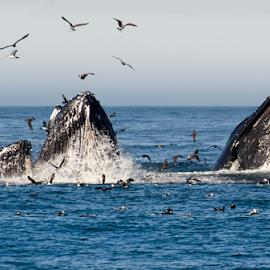 Three's a Crowd! by Helen Mathias - Animals Sea Creatures ( humpback, monterey, lunge feeding, feeding, sea, bids, bubble netting, whale, usa, whales,  )
