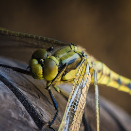 resting by Lupu Radu - Animals Insects & Spiders ( macro, tyre, shade, insect, dragonfly )