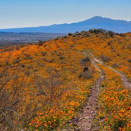 by David Bair - Landscapes Deserts ( eschscholzia californica, desert, colorful, arizona, southwest, california poppy, scenic, spring )