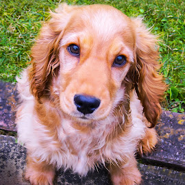 Wet Doggy by Len  Janes - Animals - Dogs Puppies ( water, breed, spaniel, cocker spaniel, wash, bath, puppy, dog, vet, king charles spaniel )