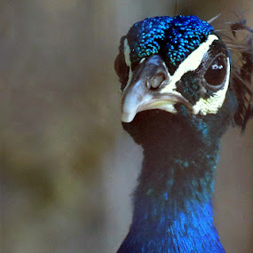 Curios by Anumita Das - Novices Only Wildlife ( bird, portrait., color, peacock )