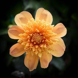 Yellow On Yellow by Janet Marsh - Flowers Single Flower ( yellow, dahlias )