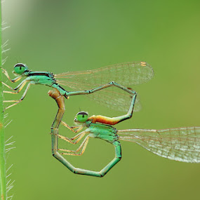 In Love by Said  Ikhsan - Animals Insects & Spiders ( macro, nature )