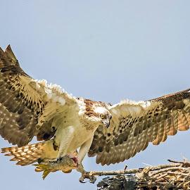 Home coming.... by Ioannis Alexander - Animals Birds ( predator, flying, bird of prey, wings, wildlife, raptor, osprey )
