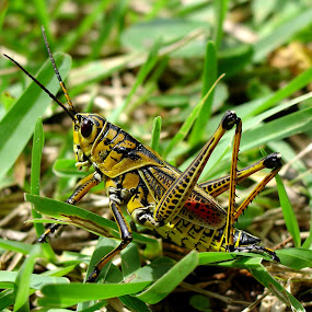 GA Thumper by Bill Bettilyon - Animals Insects & Spiders ( insect, grass hopper, grasshopper )