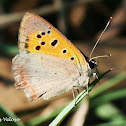 Common Copper Butterfly
