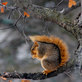 Mohawk squirrel by Leo Padilla - Animals Other