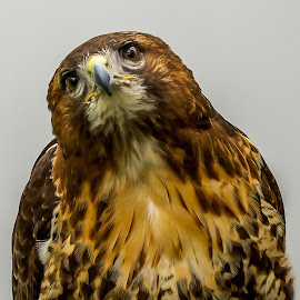 Expression by Vicki Roebuck - Animals Birds ( expression, bird of prey, beak, eye, markings, hawk )
