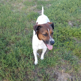 Angel by Rebecca Yarosis - Animals - Dogs Portraits ( white, beagle, outside, brown, dog,  )