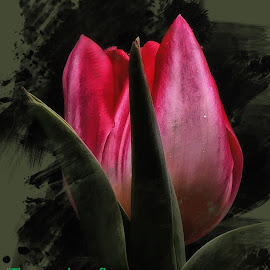 Pink Tulip by Dave Walters - Typography Quotes & Sentences ( nature, colors, nature up close, flowers limix fz2500, typography )