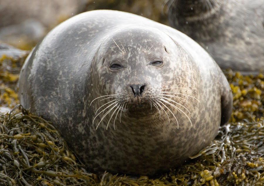 grey seal by Pietro Ebner - Animals Other Mammals ( scotland, seal, grey, mammal, portrait )