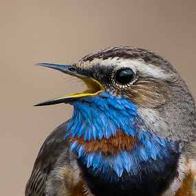 Bluethroat by Hans Olav Beck - Animals Birds (  )