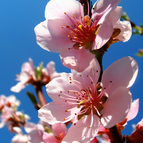 Peach blossom by Snezana Petrovic - Nature Up Close Flowers - 2011-2013 ( macro, sky, stamens, colorful, blue, petals, peach, pink, spring, blossom, soft )