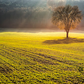 Alone in the light by Maurizio Martini - Landscapes Prairies, Meadows & Fields ( field, dreamy, tuscany, freedom, tree, sunset, green, shadow, fairy, ray of light, light, golden )