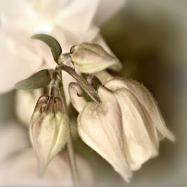 softly, softly by Tim Durrant - Nature Up Close Gardens & Produce ( nature, petals, white, lovely, stem, flower, soft )
