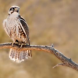 Falcon in Sonoran Desert by Dale Kesel - Animals Birds ( bird, birds of prey, desert, lighting, warm tones, arizona, dramatic, southwest, bird portraits, falcon, neutral, close up, bird photography )