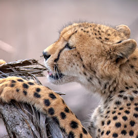Inquisitive by Clive Wright - Animals Other Mammals ( cheetah, cat, south africa, kruger, africa, feline )
