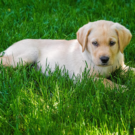 Fury by Dave Lipchen - Animals - Dogs Puppies ( puppy, yellow lab )