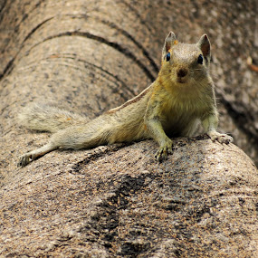 hey watchya luking for.. by Praveen Premkumar - Animals Other Mammals ( sweet, sun shade, tree, cute, squirrel,  )