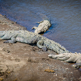 American crocodiles by Dale Youngkin - Animals Reptiles ( crocodiles, american crocodiles, crocodile, costa rica, tarcoles )
