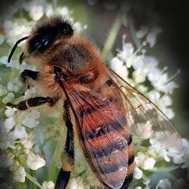 Honey Bee by Rich Havas - Animals Insects & Spiders