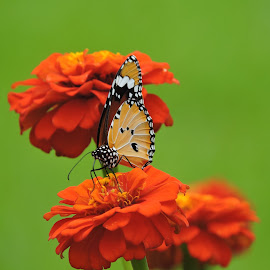 Full of colours  by Anindita Sharma - Flowers Flower Gardens ( colour, butterfly, two, combination, flower,  )