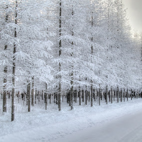 Sudden Frost by Simon Lambert - Landscapes Weather (  contrasts,  finland,  winter,  trees, weather,  frost,  white )