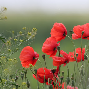 by Radomir Perin-Rasa - Flowers Flowers in the Wild (  )