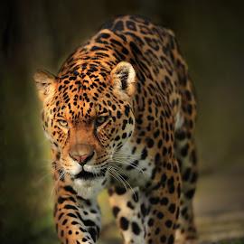 Power grace and menace  by Paul Fine - Animals Lions, Tigers & Big Cats ( big cat, jaguar, hunter, predator, endangered, feline )