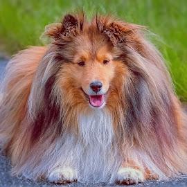 A friendly smile by Sue Delia - Animals - Dogs Portraits ( shetland sheepdog, smile, dog )